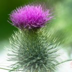 Distel im Wind
