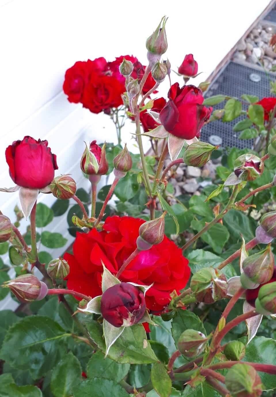 Rose ?rot